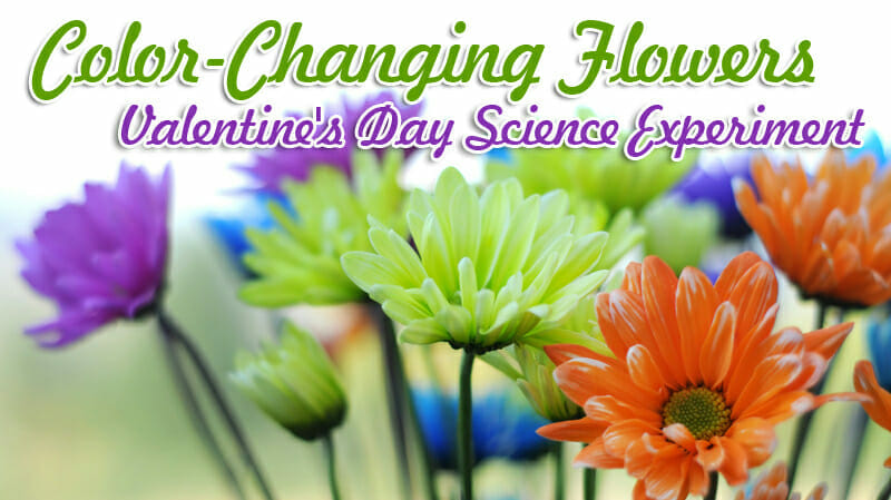 color changing flowers valentines day science experiment
